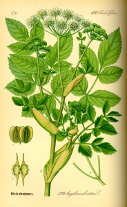 Illustration_Angelica_silvestris0[1]